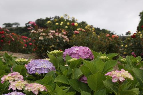 種松山は紫陽花の花盛り