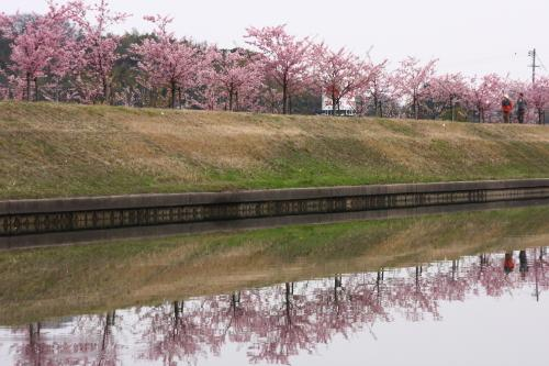 倉敷川畔の河津桜