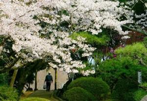 春・桜・花見・良寛茶会・・・・もうすぐです・・お待ちしています。