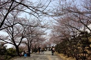 2012年度 種松山のさくら♪♪♪