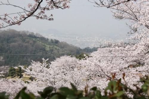 満開の桜の山♪ 種松山♪♪♪