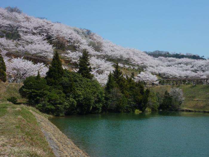 倉敷でお花見~種松山の満開の桜~2012