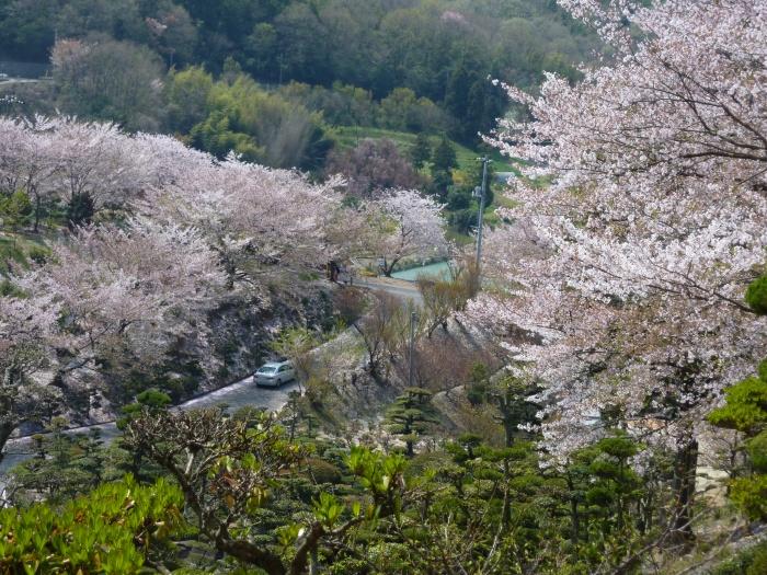 倉敷でお花見~散りゆく種松山の桜~2012