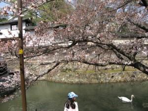 倉敷美観地区の桜が開花しました