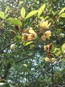 カラタネオガタマの花が咲き始めました