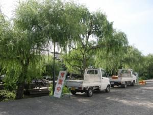 倉敷川畔の柳の剪定が始まりました。