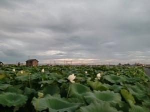 連島のれんこん畑のハスの花
