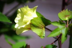 綿がいっぱい咲き競います・・8月18日・・・備中綿鑑賞会・・備中玉島円通寺