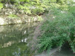倉敷美観地区の倉敷川畔に萩の花が咲きました。