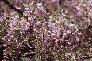 種松山公園西園地の藤の花 in  2013年