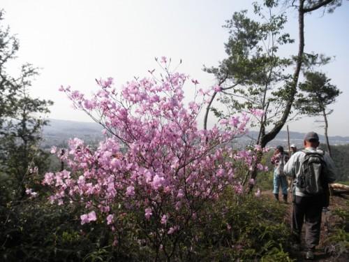 八幡山のつつじ