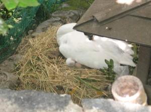 美観地区倉敷川に白鳥のひなが誕生