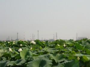 連島のれんこん畑に咲く大輪の花