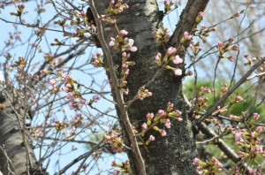 桜だより ~倉敷美観地区~