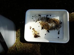 新渓園でホタルの幼虫を放流