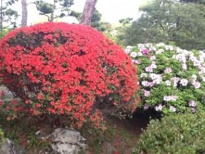 新渓園の花木が見頃を迎えました
