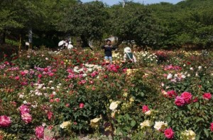種松山公園西園地でバラが満開