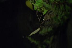 今年も美観地区でホタルが飛びました