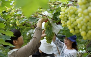 倉敷体験プログラム「ひやさい」~倉敷うまいもん農業体験~農業女子と味わう緑と光りの果実2014
