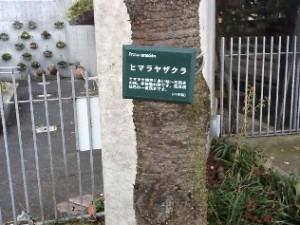 阿知フラワーポッケのヒマラヤ桜