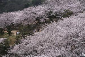春休み真っ只中の種松山 桜が満開に!!