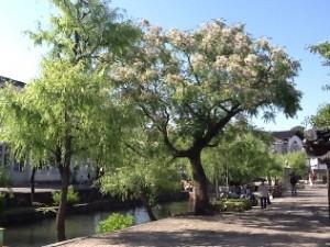 倉敷美観地区のセンダンの花が見頃を迎えました