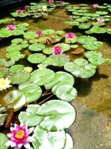 大原美術館中庭の睡蓮