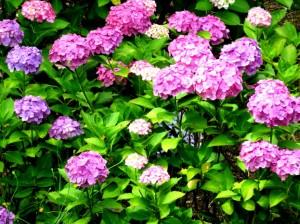 紫陽花の山とカワセミの谷
