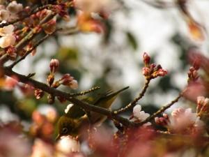 霞立つ玉島の春2016