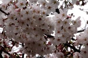 倉敷美観地区は花盛り