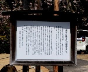 柳田八幡宮三春滝桜 & 種松山の桜