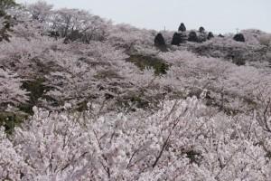満開の桜~種松山公園西園地~2016