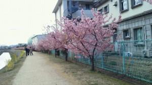 """倉敷川沿い""""いりふねの道""""の河津桜が満開です"""