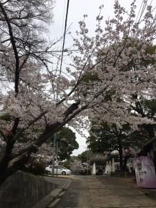 倉敷桜さんぽ