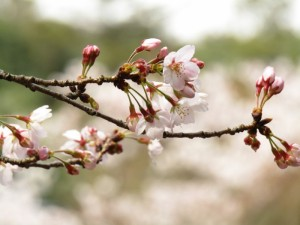玉島春色便り 桜の花編2017