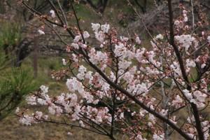 種松山 & 酒津公園の桜  in  2017