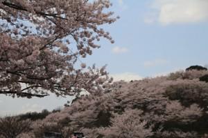 満開になった種松山西圓地の桜🎶 in  2017