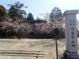 6、宝島寺桜