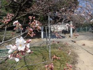 18、厄神社桜