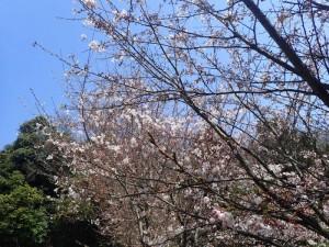 8、大平山桜