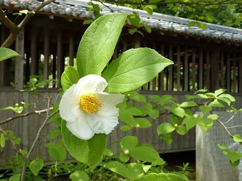 沙羅(サラ)の花 in 藤戸寺2011