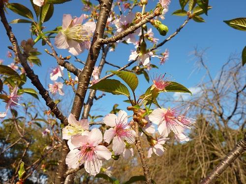 ヒマラヤ桜と足高神社の紅葉~2011