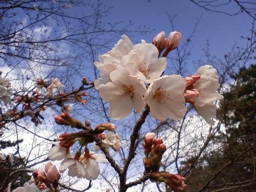 酒津の桜は三分咲き