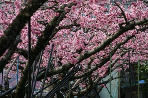 すばらしい桃の花が咲きます