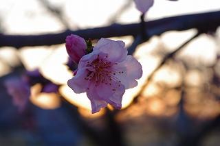 もうすぐ満開です・玉島富田の桃