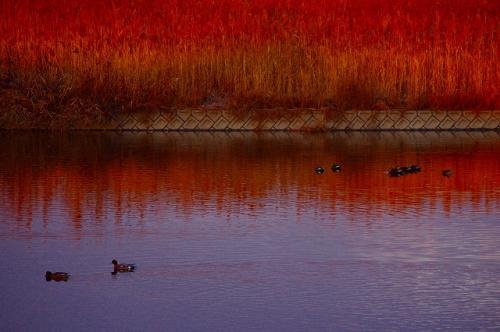 里見川は渡り鳥で今賑わっています。
