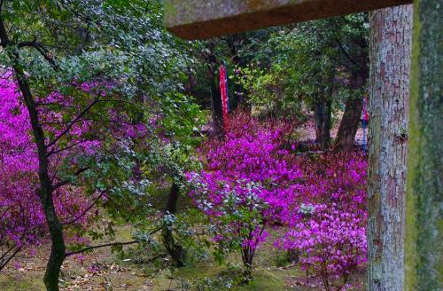 もうすぐ良寛茶会です・・桜もきれいですよ