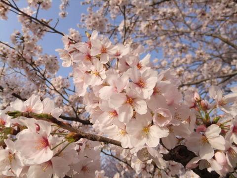 酒津公園では桜の花満開