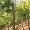 箭田の竹林