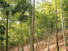 箭田の竹林イメージ クリックで詳細ページへ